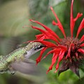 Hummingbird by Betsy LaMere