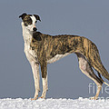 Hungarian Greyhound by Jean-Louis Klein & Marie-Luce Hubert