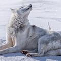 Huskies In Ilulissat, Greenland by Joana Kruse