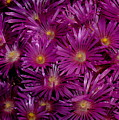 Ice Plant by Patrick  Short