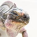 Iguana On The Beach by Pier Giorgio Mariani