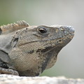 Iguana by Paul Gavin