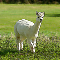 Illustration Of White Alpaca Like Llama Walking In Field Unique And Different by Michael Charles