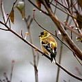 Img_0001 - American Goldfinch by Travis Truelove