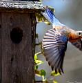 Img_1414-003 - Eastern Bluebird by Travis Truelove