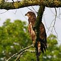 Immature Bald Eagle by James Jones