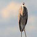 Immature Great Blue Heron Sticks Toungue Out by Matt Suess