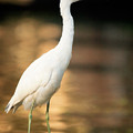 Immature Little Blue Heron by Matt Suess