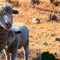 Impoverished Sheep by Josh  Montgomery