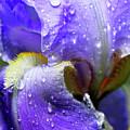Iris With Raindrops by Thomas R Fletcher