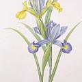 Iris Xiphium by Pierre Joseph Redoute