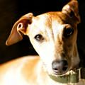 Italian Greyhound Portrait by Angela Rath