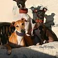 Italian Greyhounds by Angela Rath
