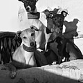 Italian Greyhounds In Black And White by Angela Rath