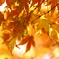 Japanese Maple In Fall by Vanessa Thomas