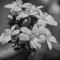 Jatropha Blossoms Painted Bw by Rich Franco