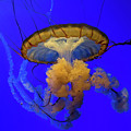 Jellyfish At California Academy Of Sciences In San Francisco, California by David Oppenheimer