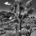 Joshua Tree And Cloud by Peter Tellone