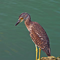 Juvenile Black Crowned Night Heron by Robert Brown
