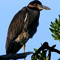 Juvenile Night Heron by Delphine Ross
