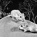 Kangaroo Rat by Granger