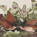 Key West Dove by John James Audubon