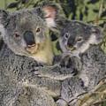 Koala Phascolarctos Cinereus Mother by Gerry Ellis