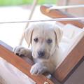 Labrador by Romeo Lombardi