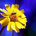 Lakeside Daisy by Dave Smith