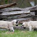 Lambs Playing by Buddy Scott