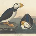 Large-billed Puffin by John James Audubon