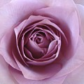 Lavender Of Rose by Jacqueline Migell