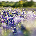 Lavender Purple Flower Blooming On Side Road In Texas At Sunset by Alex Grichenko