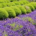 Lavender by Terry Matysak
