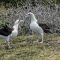 Laysan Albatross Hawaii #2 by NaturesPix