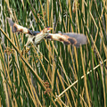 Least Bittern Flight by Tam Ryan