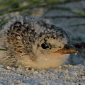 Least Tern Chick by Meg Rousher