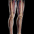 Leg Blood Supply by Science Picture Co