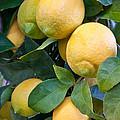 Lemon Tree by Inga Spence