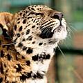 Leopard by Bert Mailer