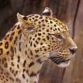 Leopard by Donald Paczynski