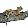Leopard Panthera Pardus Sitting by Panoramic Images