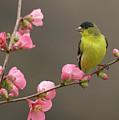 Lesser Goldfinch by Doug Herr