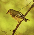 Lesser Goldfinch In Acacia Tree Txt by Theo O'Connor