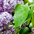 Lilac Drops by Greg Fortier