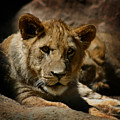 Lion Cub by Anthony Jones