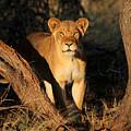 Lion by Dorothy Binder