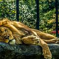 Lion Relaxing by Ajit Vikram