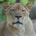 Lioness by Maria Urso