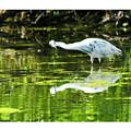 Little Blue Heron Fishing by Edward Peterson